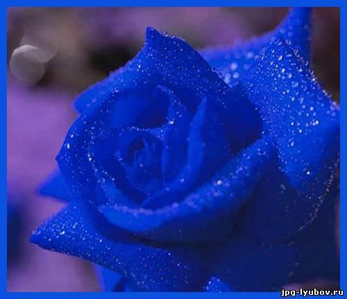 Картинки синие розы - 2