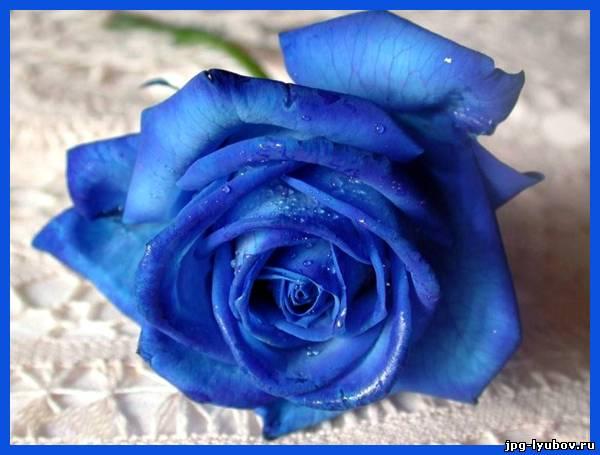 Картинки синие розы - 08