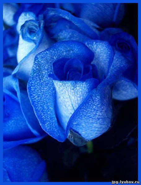 Картинки синие розы - 8f432