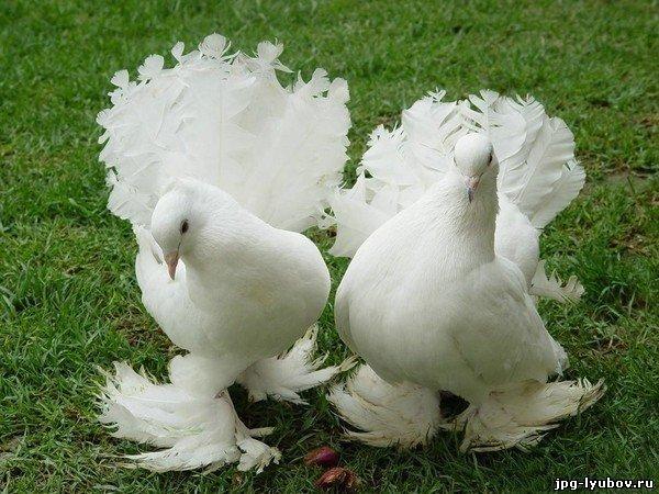 Любовь у птиц картинки картинки про
